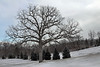 A solitary or specimen oak, one that had all the space it needed to take on the full characteristic rounded shape of its kind.<br /> <br /> Huron Hills Golf Course,<br /> January 28, 2010.