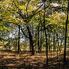 Photomerge - Venerable maple tree in early autumn