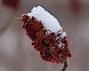 Softly, softly.  Snow on sumac.