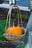 D240-2012 Harvested pumpkin, whimsically placed in a basket for the Demonstration Garden's guardian 'Tin Man'.<br /> <br /> Toledo Botanical Garden, Ohio<br /> August 28, 2012