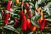 D261-2013  Ornamental chili peppers<br /> <br /> Gazebo Gardens, Hidden Lake Gardens, Michigan<br /> September 18, 2013