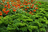 D214-2012 Parsley 'Afrodite' or 'Aphrodite' (much more common spelling).<br /> In use as a border or edging for a planting of Zinnia 'Double Zahara Fire',<br /> .<br /> Demonstration Garden, Hidden Lake Gardens, Lenawee County, Michigan.<br /> August 2, 2012.<br /> (D50)