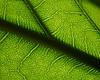 Moraceae #02 13<br /> <br /> Fiddleleaf Fig, Ficus lyrata.<br /> Native to:  Western Africa<br /> <br /> Conservatory of the Matthaei Botanical Garden,<br /> Ann Arbor, Michigan,<br /> March, 2011.