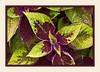 Coleus 'Versa Crimson Gold'<br /> <br /> Hidden Lake Gardens, Lenawee County, Michigan<br /> September 27, 2011