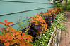 D249-2012 A border of coleus and dainty blooming plants along a wall of one of the cottages on the Garden grounds.<br /> .<br /> Toledo Botanical Garden, Ohio.<br /> September 6, 2012.