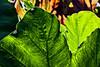 D261-2013  Garden foliage<br /> <br /> Gazebo Gardens, Hidden Lake Gardens, Michigan<br /> September 18, 2013