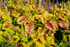 Coleus and salvia, both in bloom