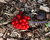 Trillium(?) berries.<br /> <br /> Hosta Hillside,<br /> Hidden Lake Gardens,<br /> Tipton, Michigan<br /> October 5, 2011