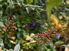 Bright berries on a viney shrub with fine wicked thorns.<br /> <br /> Nichols Arboretum, Ann Arbor, Michigan<br /> October 10, 2011