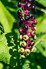 D246-2013 Pokeweed fruit or berries. (Pokeweed is a generic term.  This particular plant is American Pokeweed, Phytolacca americana.)<br /> <br /> Nichols Arboretum, Ann Arbor<br /> September 3, 2013