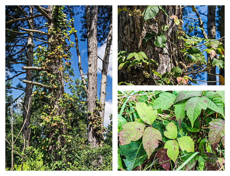 "Itch Inducing Irritant - Poison Ivy<br /> My alternate I images<br /> <br /> DP252-2013  Posted September 9; created ditto<br /> <br /> As someone who is pretty sensitive to the irritant in PI, urushiol, I have to be ever vigilant when walking in unmowed or wooded areas in local parks.  In the fall, however, poison ivy can become quite colorful.  In good years, the vines turn a vivid orange or a flaming red.  In poor years, which 2013 seems to be, the colors are duller and more likely to be burgundy or maroon than scarlet.<br /> <br /> All of the single shots are from a September 3 walk along the edge of Dow Prairie in Nichols Arboretum, Ann Arbor.<br /> <br /> Yesterday was a great ""I"" day in the Alphabet Challenge...much greater variety than I imagined there would be.  At the beginning of the week I had worried that ""I"" would be hard for me, but I ended up with quite a long list of possibilities.  I gather that many others in the DP community had alternates for the day as well.  It just goes to show the power of imagination."