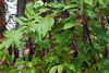 Pokeweed Jungle<br /> <br /> Nichols Arboretum, Ann Arbor, Michigan<br /> October 10, 2011