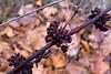 Unidentified seedpods.<br /> <br /> Wetlands, Eugene, Oregon<br /> December 2010