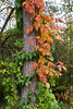 Vines on Pines.<br /> <br /> The pretty one, in fall colors, is the bane of woodlands around here - poison ivy.<br /> <br /> Nichols Arboretum, near Dow Prairie.<br /> Ann Arbor, Michigan<br /> October 10, 2011