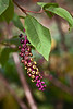 Pokeweed fruit or berries.<br /> <br /> From bloom to ripe berry, all in a single cluster.<br /> <br /> Nichols Arboretum, Ann Arbor, Michigan<br /> October 10, 2011