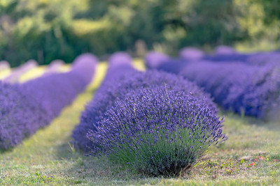 Lavender's blue, dilly, dilly Lavender's green