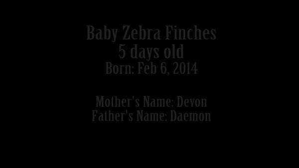 BabyZebraFinchs