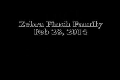 ZebraFinchesFamily