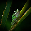 Green Frog Tree
