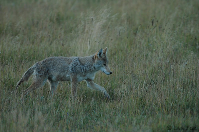 Coyote hunting for dinner