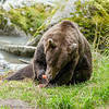 We were stuck in Haines AK for about 2 weeks waiting on our 5th wheel hitch replacement. Great place to get stuck. Each night we would go over to  Chilkat State Park where grizzly would be feeding on the salmon. What a treat to watch and photograph them catching and eating the salmon.