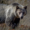 """Grizzly along the road to Many Glaciers in Glacier National Park, MO.<br /> <a href=""""https://www.nps.gov/glac/planyourvisit/maps.htm"""">https://www.nps.gov/glac/planyourvisit/maps.htm</a>"""