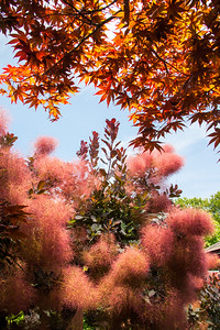 Maple_SmokeBush_8993