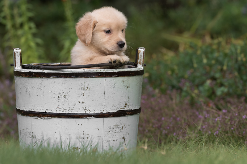 Golden Retriever at eight weeks