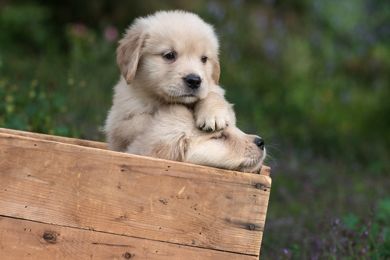 Golden Retrievers at eight weeks