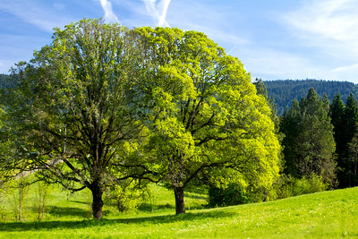TwinTrees_Spring-2-5285