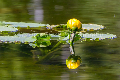 WaterLily_Mirror_7440