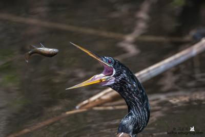 Anhinga - snake bird