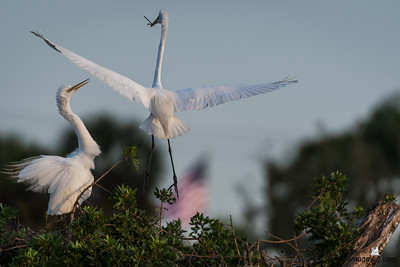 Great Egret fight