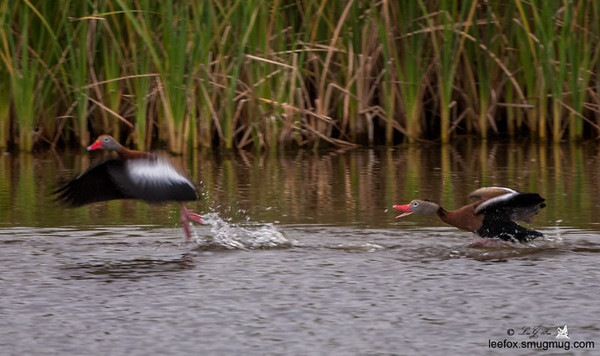 Black Bellied Whistling Duck
