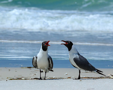 Laughing Gulls Courting Each Other