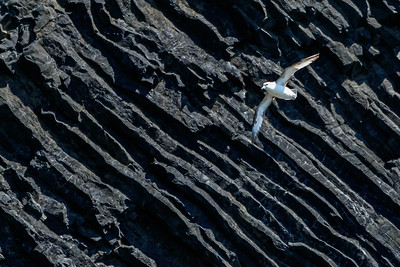 Bird Soaring In Front Of Columnar Basalt At Reynisfjara In Iceland