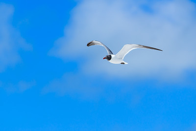 Laughing Gull In The Sky