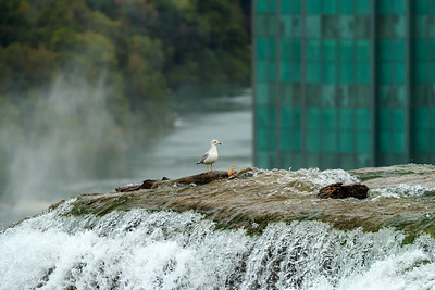 Ring-Billed Gull On The Edge Of Niagara Falls