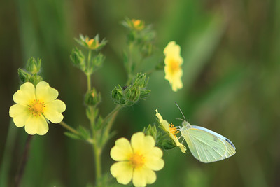 Cabbage White Butterfly In The Meadow