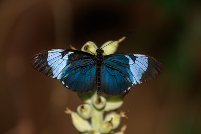 Blue Longwing Butterfly At Meijer Gardens