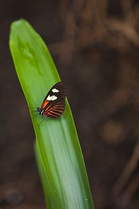 Small Postman Butterfly At Meijer Gardens