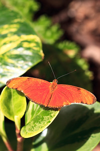 Julia Butterfly At Meijer Gardens
