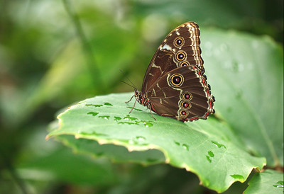 Common Morpho Butterfly At Meijer Gardens
