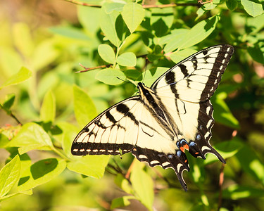 Tiger Swallowtail Butterfly In The Woods