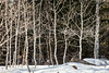 Aspens_in_Snow_6872
