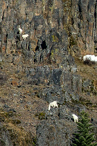 MountainGoats_6568