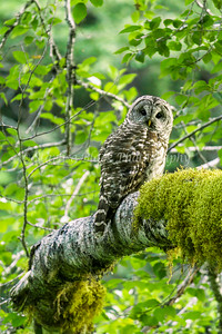 Barred_Owl_9141