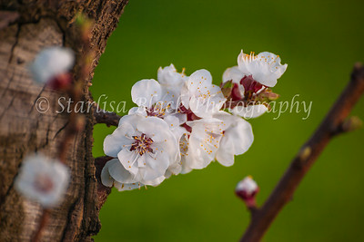 Blossoms_8048