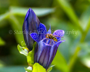 Gentian_Hoverfly-crop1-0558