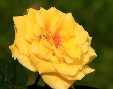 Yellow Rose With Spider